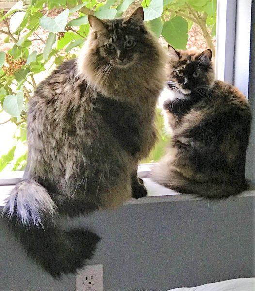Tanya's Cats Maverick and Charlie