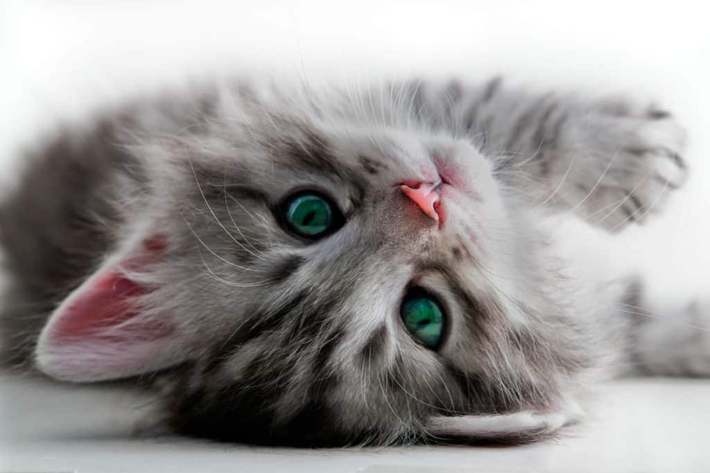 Grey tabby kitten lying on back